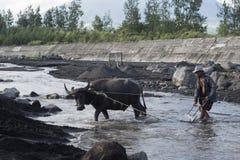 Филиппинский человек и его индийский буйвол собрать вулканический песок в реке на Legazpi, Филиппинах стоковая фотография