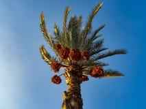Финиковая пальма в порывах ветра ветра стоковые фото