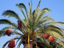 Финиковая пальма с плодоовощами Стоковое Изображение RF