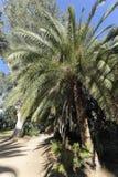Финиковая пальма Канарских островов Стоковые Фото