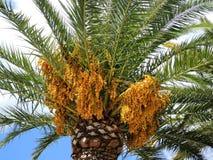 Финиковая пальма с плодоовощами Стоковые Изображения RF