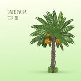 Финиковая пальма с плодоовощами Стоковые Изображения
