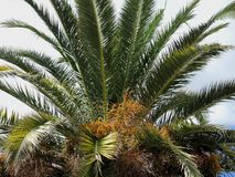 Финиковая пальма с плодоовощами Стоковая Фотография