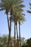 Финиковая пальма Стоковая Фотография RF