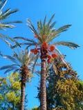 Финиковые пальмы с плодами стоковое изображение rf