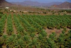 Финиковые пальмы Jabrin, Оман Стоковое Изображение