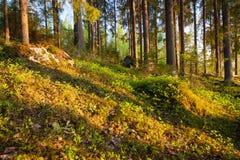 Финский лес на свете захода солнца Стоковые Фотографии RF