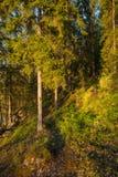 Финский лес на свете захода солнца Стоковое Фото