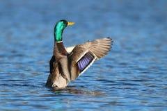 Фиолетовая вспышка на крыле ` s кряквы Стоковое Изображение RF