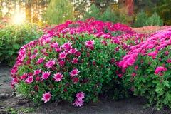 Фиолетовая и розовая хризантема цветет на flowerbed на заходе солнца стоковое изображение