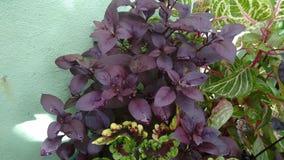 Фиолетовая листва Стоковая Фотография