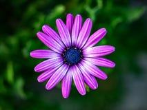 Фиолетовая маргаритка в цветени в Японии 3 стоковые фотографии rf