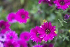 Фиолетовая маргаритка стоковая фотография