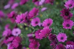 Фиолетовая маргаритка стоковые фото