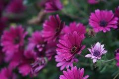 Фиолетовая маргаритка стоковые изображения rf