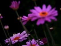Фиолетовая маргаритка после дождя в лете стоковые фотографии rf