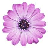 Фиолетовая маргаритка Bornholmmargerite, маргаритка изолированная на белой предпосылке, включая путь клиппирования Стоковая Фотография