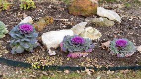 Фиолетовая орнаментальная листовая капуста 3 в саде грязи и утеса Стоковая Фотография