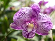 Фиолетовая орхидея в баке в саде стоковое фото