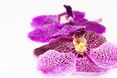 Фиолетовая орхидея с падением воды на белой предпосылке Стоковое Фото