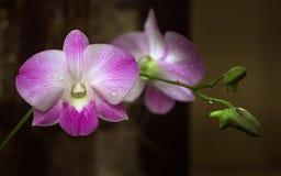Фиолетовая орхидея с падениями воды Стоковые Изображения