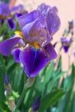 Фиолетовая радужка на предпосылке растительности Стоковое Изображение