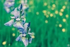 Фиолетовая радужка цветет на глубокой ой-зелен предпосылке травы Стоковая Фотография