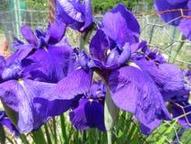 Фиолетовая радужка цветет полностью цветене весной стоковое изображение rf