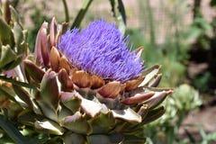 Фиолетовая сила цветка артишока Стоковые Изображения RF