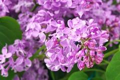 Фиолетовая сирень цветет предпосылка Стоковая Фотография
