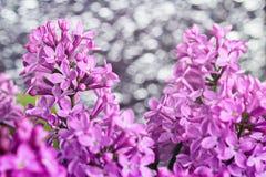 Фиолетовая сирень цветет предпосылка Стоковое Изображение