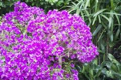 Фиолетовая слава утра стоковое изображение