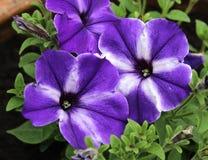 Фиолетовая Striped петунья Стоковое фото RF