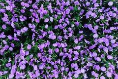 Фиолетовое взгляд сверху петуний сирени Стоковая Фотография