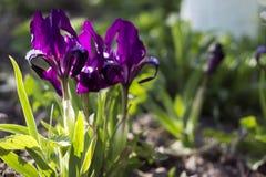 Фиолетовое низкорослое цветение радужек в саде на фоне Стоковая Фотография