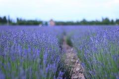 Фиолетовое поле лаванды Стоковые Фотографии RF