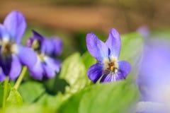 Фиолетовое фото макроса Конец-вверх фиолетов цветка леса Фото макроса Стоковая Фотография RF