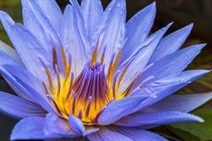 Фиолетовое цветене лилии воды полностью Стоковые Изображения