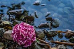 Фиолетовое цветение гортензии на озере стоковая фотография rf