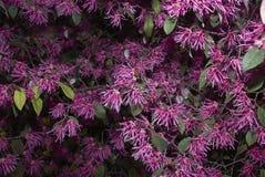 Фиолетовое цветение кустарника rubrum chinense Loropetalum стоковое фото rf