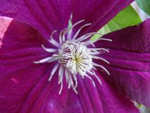 Фиолетовое цветение Clematis стоковые фото