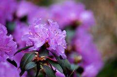 Фиолетовые азалии закрывают вверх стоковая фотография