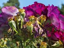 Фиолетовые вянуть розы свежие и Стоковое Изображение