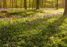 Фиолетовые древесины в восходе солнца раннего утра, Hallerbos, Бельгия Стоковое фото RF