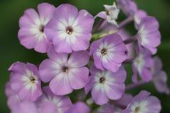 Фиолетовые и белые гибриды флокса стоковые фото