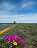 Фиолетовые и желтые маргаритки на провинции накидки Южной Африке обочины восточной Стоковая Фотография RF