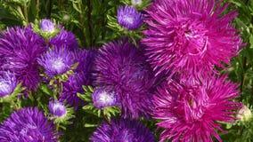 Фиолетовые и красные астры сада Стоковые Изображения RF