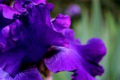 Фиолетовые лепестки все радужки в ряби Стоковые Фото