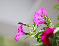 Фиолетовые, фиолетовые ноли ипомея ¼ Œ gloryï утра полностью зацветают с зелеными лист стоковое фото rf