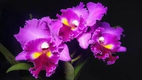Фиолетовые орхидеи на черной предпосылке Стоковая Фотография RF